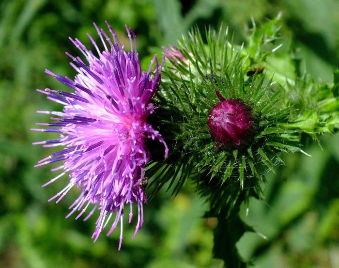 Foto van distel: bloem en knop