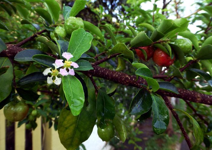 Foto van kleine roze-witte bloesem en tussen de bladeren kleine, rode vruchten