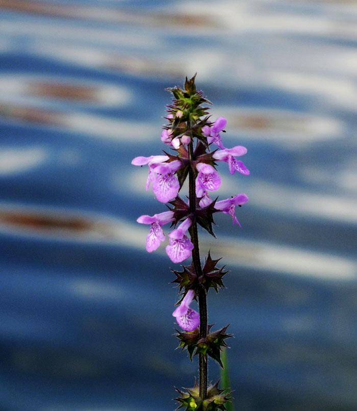 Foto van lipbloemen aan steel met water vaag op achtergrond