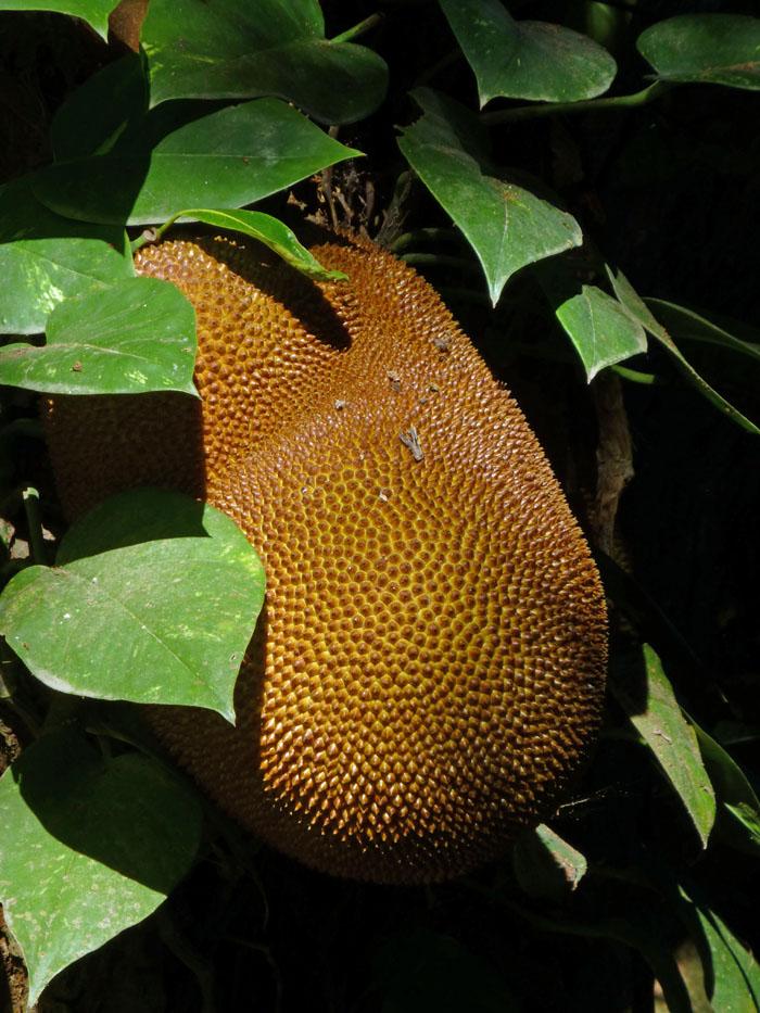 Foto van een grote, pukkelige vrucht
