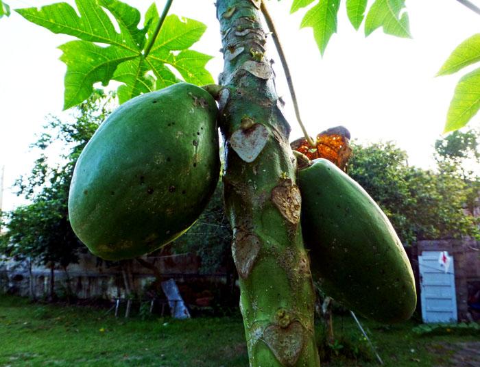 Foto van onrijpe papayas aan stam