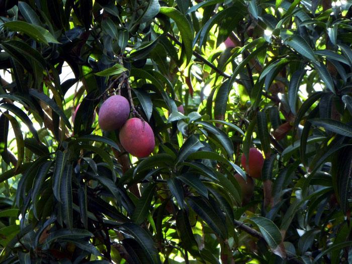 Foto van mango's aan een boom